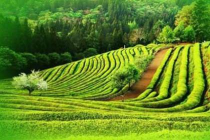 Comprar Té Verde Japonés